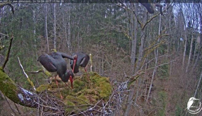 Video: Melnais stārķis ķeras otram putnam kaklā