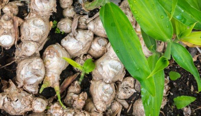 Veselības uzmundrinātājs ingvers – kā tas aug, pirms nonāk veikalu plauktos