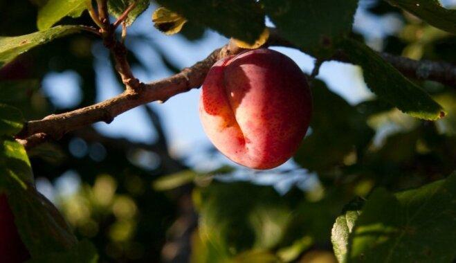 Viss, kas jāzina par augļu kokiem un to stādiem - iegāde, audzēšana un kopšana