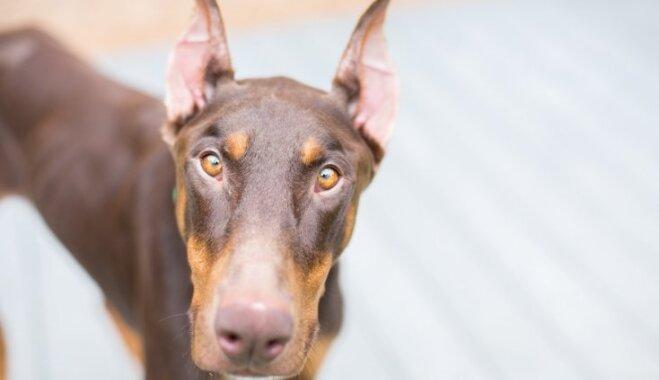 Desmit bīstamākie suņi pasaulē