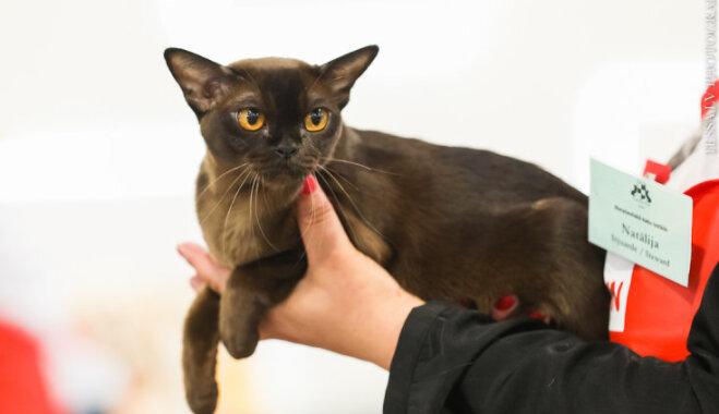 Foto: Starptautiskajā izstādē noskaidroti labākie kaķi