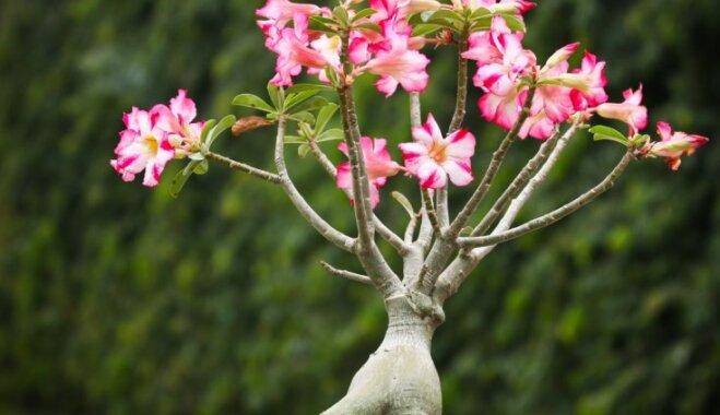 Adēnija jeb tuksneša roze – kā to kopt un lolot