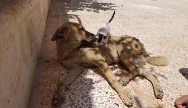 Suņu meitene Sīrijā laiž pasaulē nedzīvus kucēnus, bet kļūst par audžumammu kaķēnam