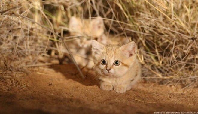 Video: Pirmo reizi savvaļā nofilmēti retie smilšu kaķēni