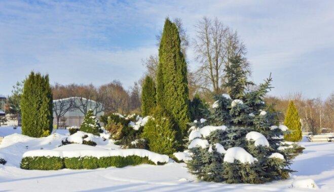 Kādi dārza darbi jāpaveic janvārī