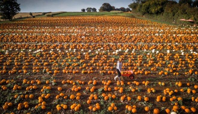 ФОТО. Оранжевые ягоды осени: как выглядят тыквенные поля в Великобритании