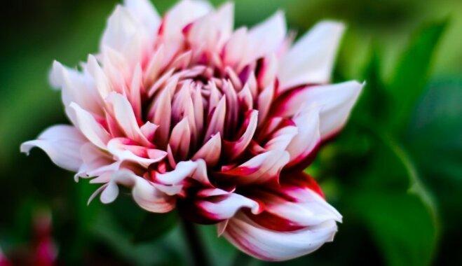 Atvasaras dailei dārzā: svarīgākais par dāliju stādīšanu