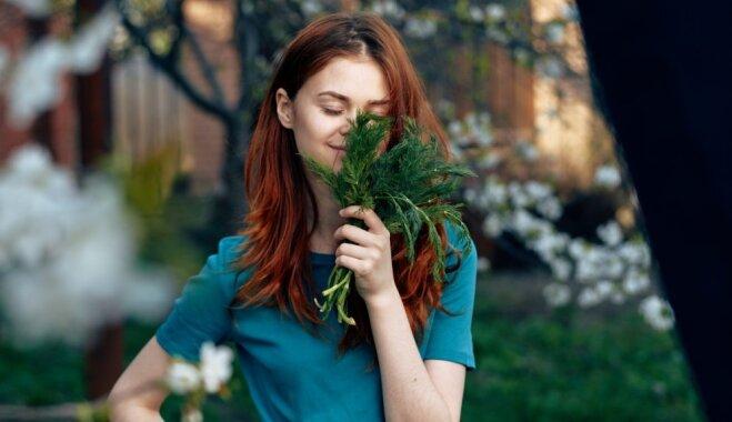 Kāpēc siltumnīcas dilles nav tik aromātiskas kā dārzā augušās?