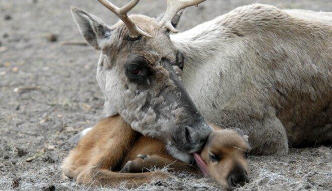 Apmeklētāju vieglprātības dēļ Rīgas zoo mokošā nāvē miris ziemeļbriedēns