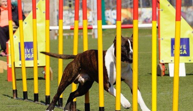 В Риге пройдут международные соревнования по аджилити на кубок мэра