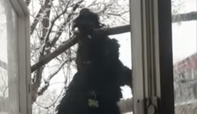 Amizants video: Suns nesekmīgi mēģina ienest mājās sprunguli