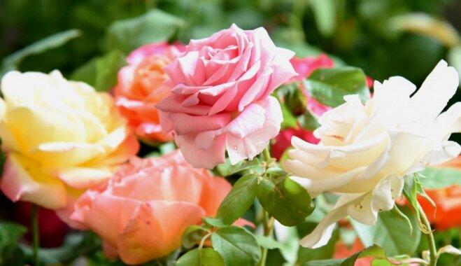 ФОТО. В Латвийском музее природы проходит выставка роз