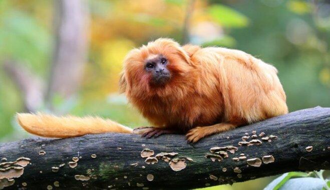 Iespējams, simpātiskākais pērtiķēns pasaulē – zeltainais lauvtamarīns