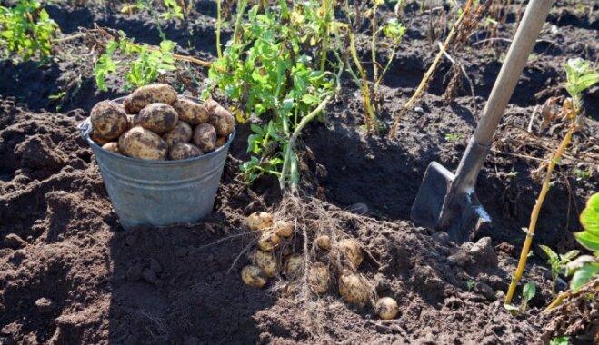 Slapjdraņķa sekas: kā novākt kartupeļu ražu