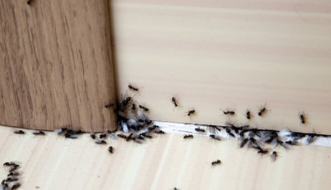 Nost ar indēm! Efektīvs līdzeklis skudru iznīdēšanai telpās
