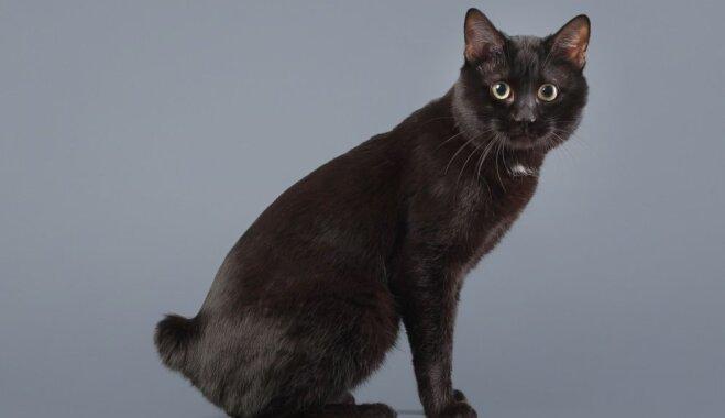 Kaķu šķirne: Kuriļu bobteils
