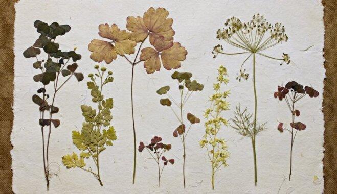Apgūt herbāriju mākslu – LU Botānikas muzejā notiks meistarklase