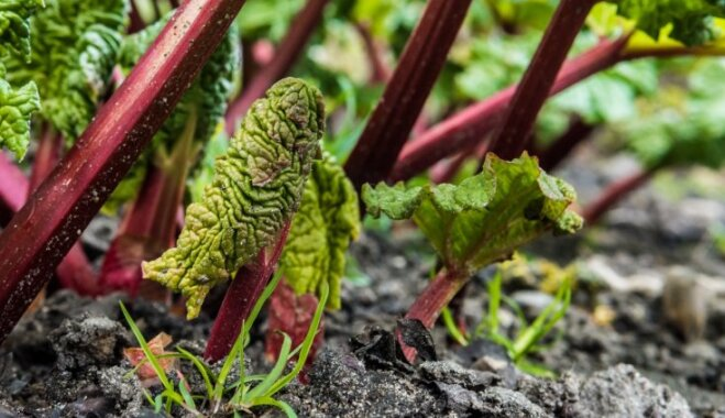 No šķirnēm līdz slimību apkarošanai – rabarberu audzēšanas rokasgrāmata