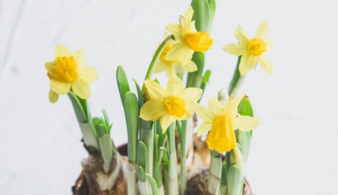 Kā savaldīt garās lapas un ziedkātus pavasara sīpolpuķēm