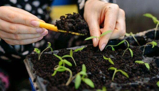 Laiks audzēt dēstus! Vērtīgi padomi tomātu stādu audzēšanai