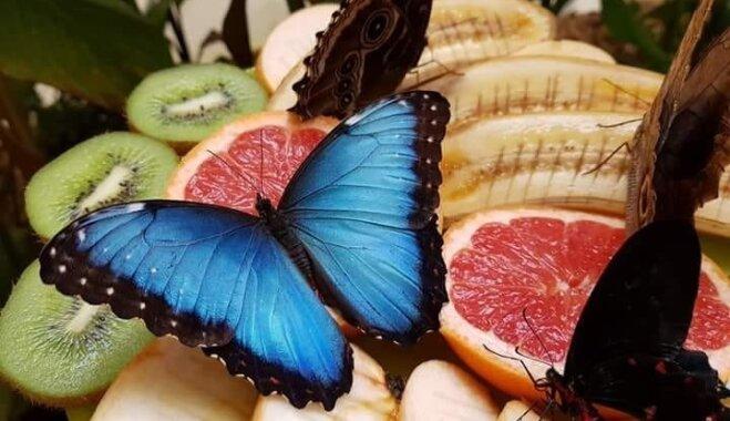 Siguldas tropu tauriņu mājā norisināsies Zilā morfīda festivāls
