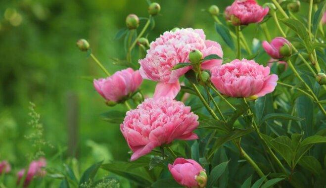 Pieci dārzi, kur šajās brīvdienās novērtēt peoniju skaistumu