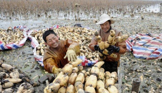 Foto: Ķīnā novāc ēdamās lotosa saknes