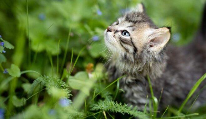 'Biju cilvēks, kas mājās negribēja kaķi.' Ivetas stāsts par nu jau trim mīluļiem
