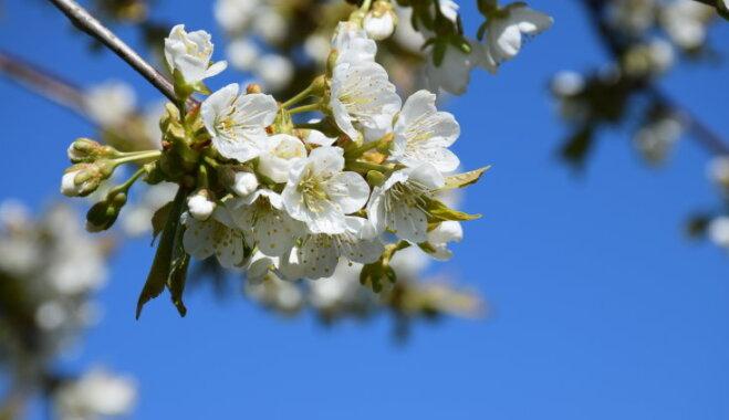 Aicina uz ķiršu ziedošo dārzu Dobelē