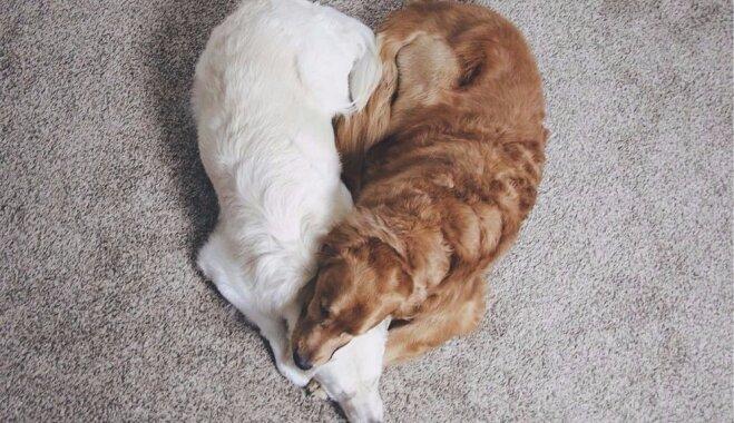 Aizkustinošs stāsts par divu suņu draudzību: kā Vatsons palīdzēja Kiko atlabt