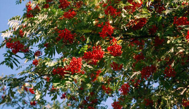 По народным поверьям: какие деревья лучше сажать у дома?