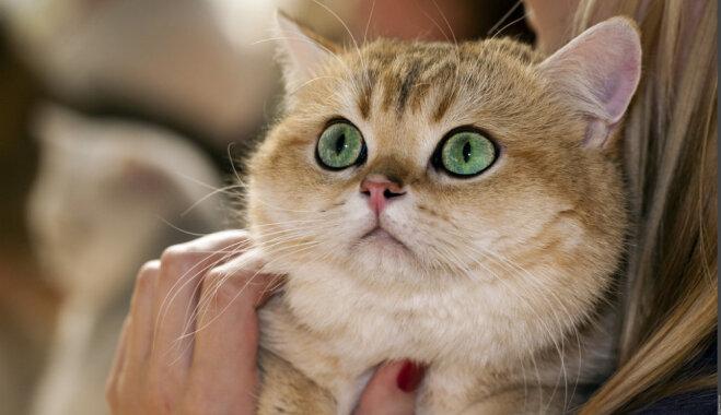 10 Latvijā populārākās kaķu šķirnes
