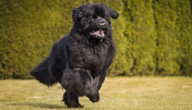 Cik ilgi dzīvo suņi un no kā tas atkarīgs
