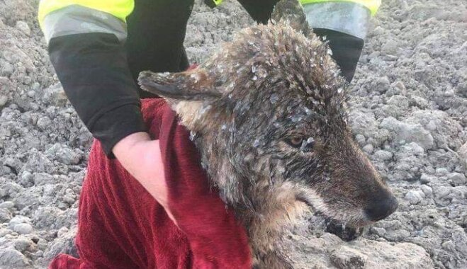 Igaunijā izglābj slīkstošu suni, kas izrādās vilks
