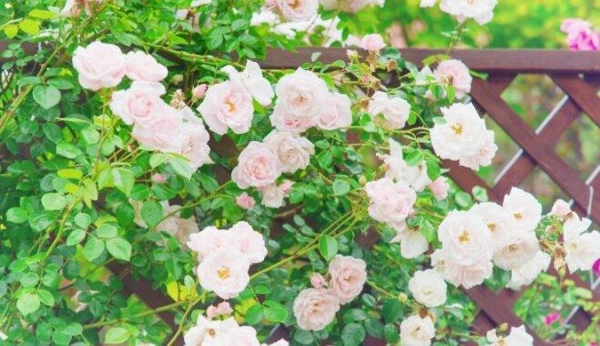 Работа над ошибками: Что пошло не так с розами и как это исправить
