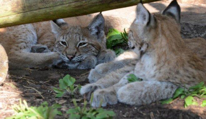 Rīgas Zooloģiskā dārza jaunajiem lūsēniem doti vārdi Jākobs un Jakobīne