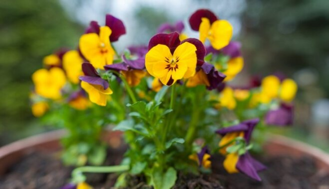 Pavasara spītnieces atraitnītes – kā lutināt agri ziedošās puķes