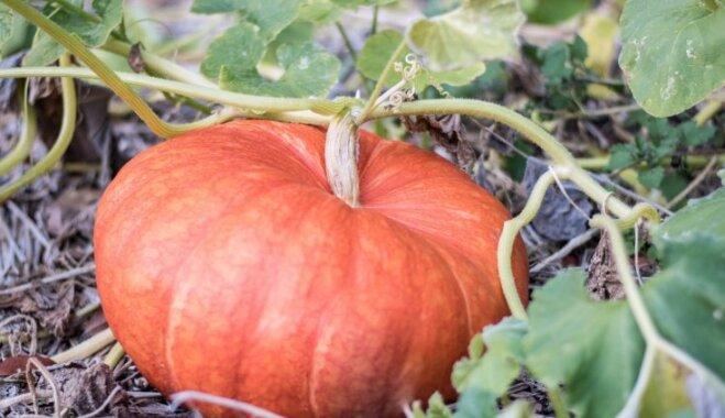 Kas darāms dārzā no 9. līdz 16. oktobrim?