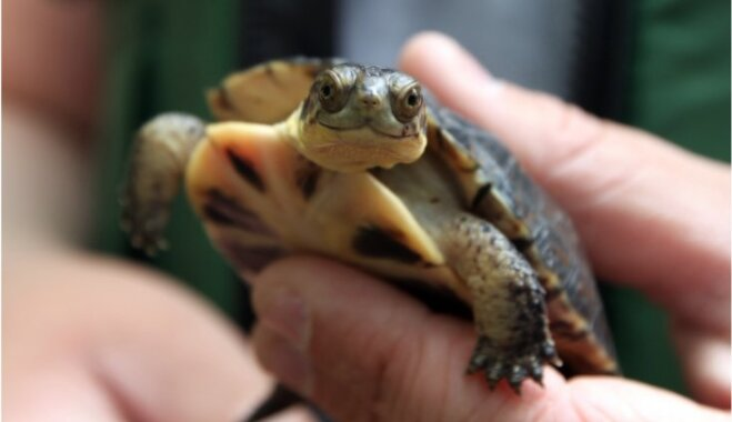 Padomā, pirms pērc 'brošiņu': ko darīt, ja vairs nespēj parūpēties par bruņurupuci
