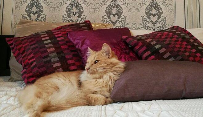 Leo dzīvība izdzisa nedēļas laikā. Amandas stāsts par kaķa saindēšanos ar liliju