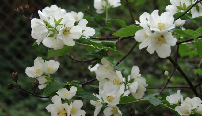 Viltus jasmīni ar noslēpumainības plīvuru – filadelfi un to audzēšana