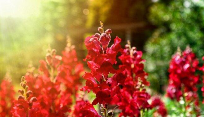 Vienas sezonas skaistums: 12 viengadīgie augi, kuriem jābūt dārzā