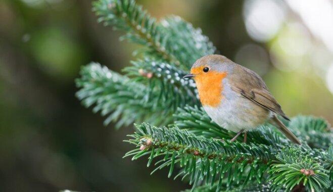 Līdz ar Ziemassvētku eglīti katedrālē Liverpūlē iemājo mazputniņš