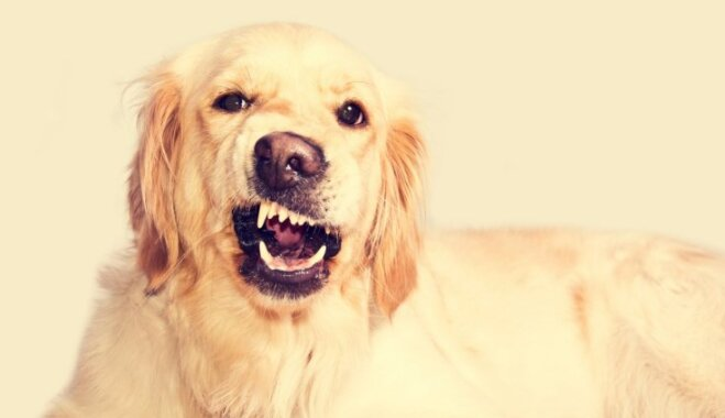 Bērnu slimnīcā ik gadu nonāk ap 200 suņu sakostu bērnu; mudina statistiku mazināt
