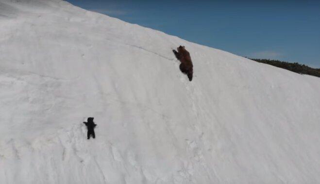 Kritizē slavenā lāču video uzņemšanu: biedēt zvērus ar dronu ir bezatbildīgi
