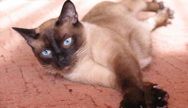 Zilacainais skaistulis Siāmas kaķis