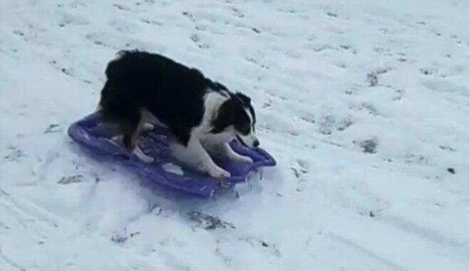 Interneta hits: Suņu meitene pati dodas šļūkt no kalna