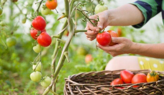 Saules siltumu smēlušies: kā pareizi novākt tomātu ražu