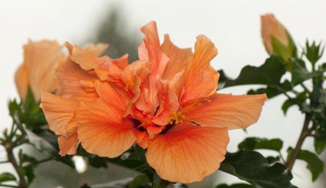 Pavisam citādāka roze – hibisks jeb Ķīnas roze un tās audzēšana mājās