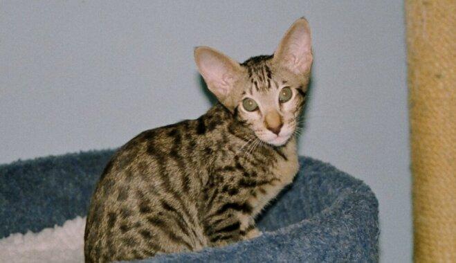 Kaķu šķirne: Austrumu jeb orientālie kaķi